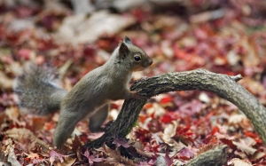 Squirrel_autumn